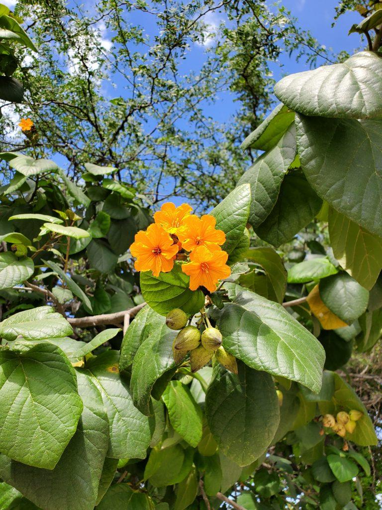 aruba plant