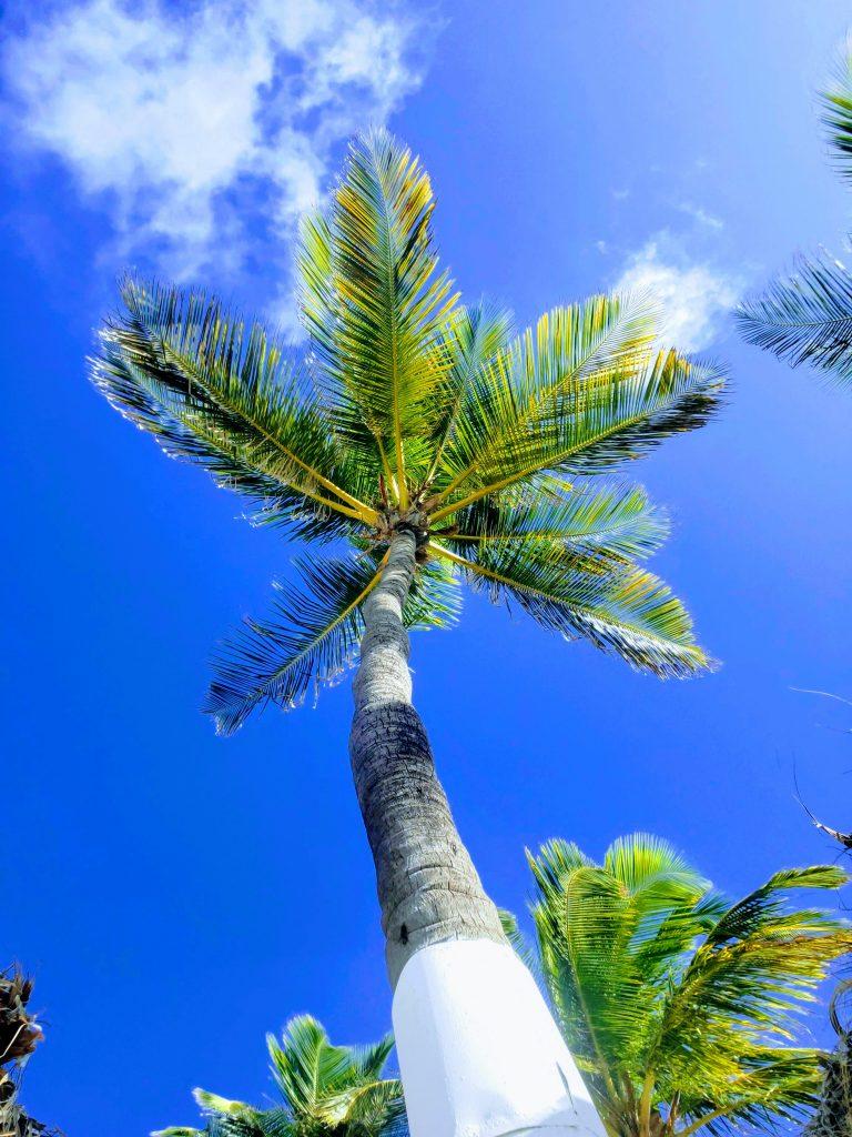 RIU Hotel coconut tree